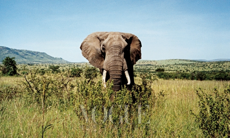 """STOMPING GROUND 위엄 있는 아프리카 코끼리를 보고 그녀는 이렇게 말했다. """"정말 멋지네요. 코끼리 귀가 나비 날개처럼 펄럭이네요."""""""