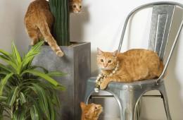 """[ 먼데이에디션 • '복희' ][ 마 타레오 • '섭섭'과 '들섭' ]""""고양이는 사람을 귀찮게 하는 일이 없어요. 우리 고양이들은 더 그렇죠."""" 주얼리 브랜드 먼데이에디션의 김사라와 남성복 브랜드 마타레오(Mataleao)의 안건 커플은 자신들이 키우는 고양이들을 데리고 데이트를 즐긴다. 김사라의 고양이 '복희(여덟 살)'와 안건의 고양이 형제 '들섭'과 '섭섭(한 살)'은 모두 코리안 쇼트헤어로 누가 누군지 구별이 안 될 만큼 외모도 성격도 비슷하다. """"좀 덜 섭섭하게 생긴 녀석이 들섭입니다. 하하!"""" 의자 위에 얌전히 앉아 있는 들섭이와 선인장 뒤로 몸을 숨기기에 바쁜 섭섭이, 바닥에 있는 복희까지 세 마리 모두 입양될 당시는 길냥이 신세였다. 들섭이와 섭섭이는 한남동 먼데이에디션 매장 근처에서, 복희는 강원도 최전방 군부대 뒷산에서 발견됐다. """"복희는 당시 다니던 회사 동료의 남자 친구가 휴가 나오면서 발견한 아이예요. 돌봐줄 사람을 찾더군요. 그렇게 복희와의 인연이 시작됐죠."""" 세 마리 고양이 모두 독립적인 성향을 지닌 덕분에 함께 있어도 '시크하게' 잘 지낸단다. """"복희는 집에 있을 때도 제게 별 관심을 보이지 않아요. 우린 서로에게 별로 신경 쓰지 않는 쿨한 사이죠. 그렇지만 퇴근하면 현관까지 나와 반겨준답니다. 그런 복희의 은근한 애정 표현이 전 더 사랑스러워요."""""""