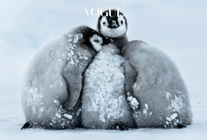 추위에 오들오들 떨리는 몸.  가만히 있어도 저절로 살이 빠지는 느낌인가요?  Gunter Riehle/Solent News & Photo Agency UK +44 (0) 2380 458800 Please contact Splash for Copy. Pictured: Penguin chicks huddle to keep warm in the freezing temperatures. Ref: SPL1217669  280116   Picture by: Solent News / Splash News Splash News and Pictures Los Angeles:310-821-2666 New York:212-619-2666 London:870-934-2666 photodesk@splashnews.com