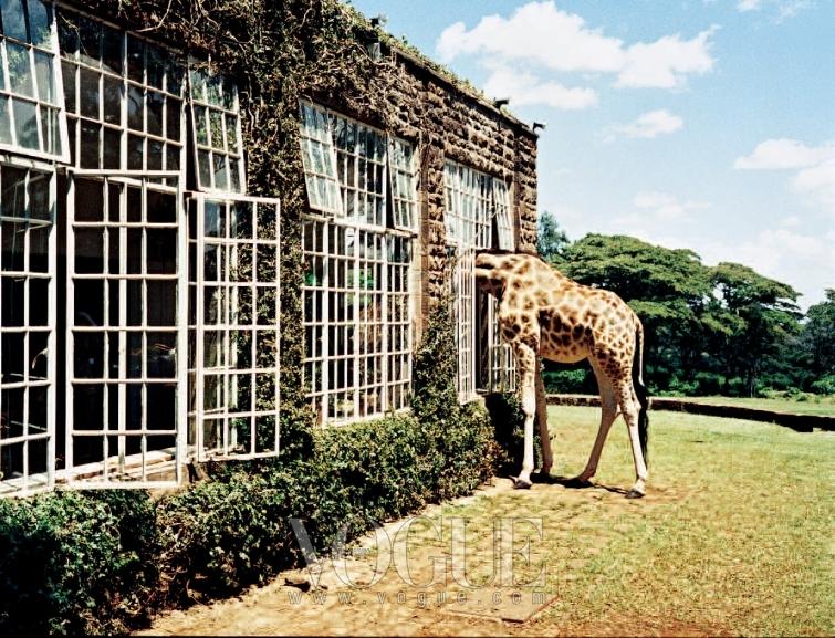 RUBBER NECKING 나이로비 근처 기라프 매너에서. 우연히 아침 먹을 시간에 맞닥뜨린 기린 친구.