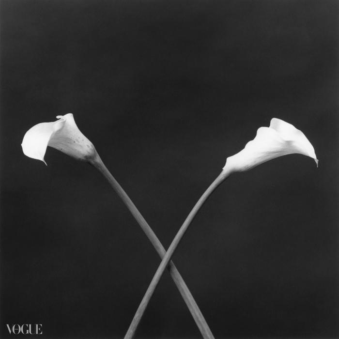 칼라(Calla Lilies), 1983. 로버트 메이플소프. 은 젤라틴 사진. 40.6 x 50.8 cm (16 x 20 in) RMP1321© 로버트 메이플소프 재단. 코더시 갤러리 타데우스로팍 파리/잘츠부르크