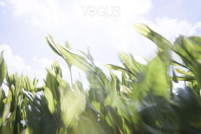 [아모레퍼시픽] 제주다원_녹차 잎