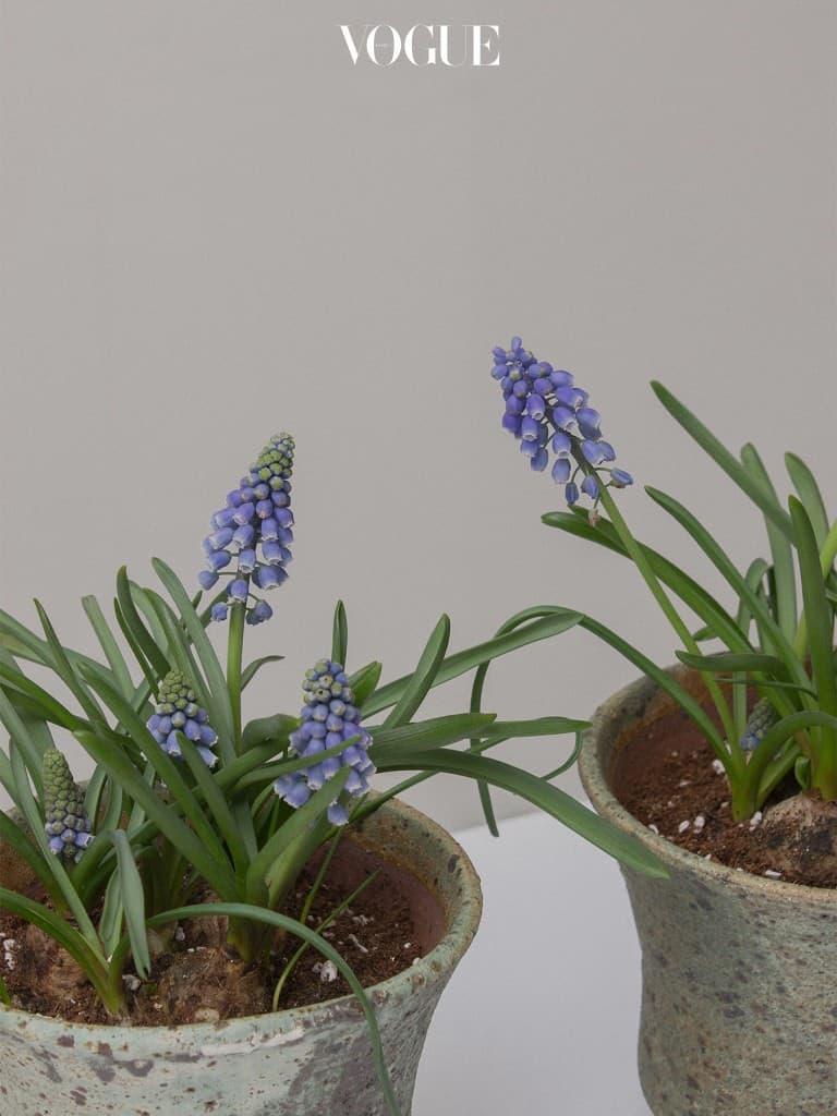구근 식물 중에서도 개인적으로 가장 좋아하는 식물은 단연코 무스카리다. 포도 송이를 닮은 모양새 때문에 'Grape Hyacinth'라고도 불린다. 그래서인지 꽃에서는 달콤한 과일향이 난다. 무스카리는 꽃시장에서 절화로도 만날 수 있는데 수입으로는 보통의 푸른색을 지닌 무스카리가 아닌 깨끗한 화이트 컬러의 무스카리도 만나볼 수 있다. 무스카리는 부케로 사용해도 특별한 분위기를 연출할 수 있다. 여러모로 많은 매력을 지닌 무스카리는 내가 봄에 심는 가장 첫번째 구근 식물이다.