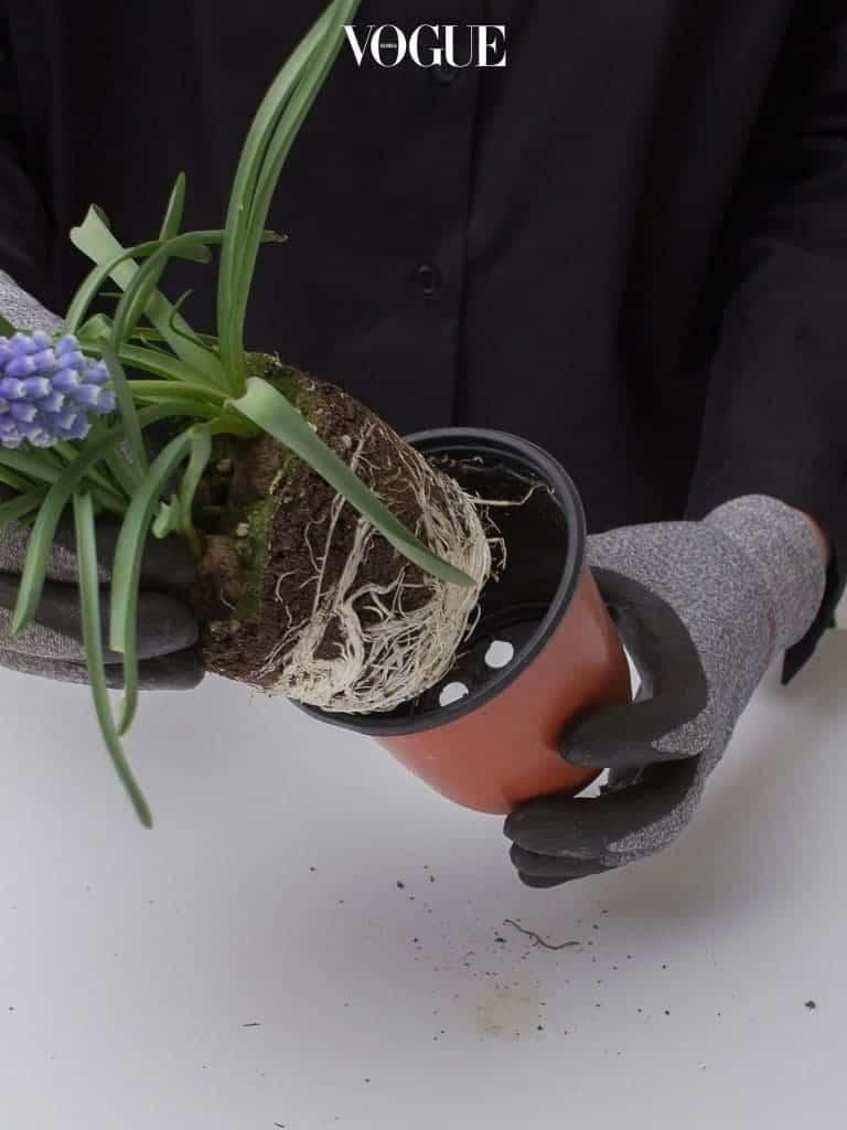 4. 무스카리가 심겨있는 플라스틱 포트와 식물을 분리하여 꺼내준다. 이때 식물의 뿌리가 다치지 않도록 주의할 것.