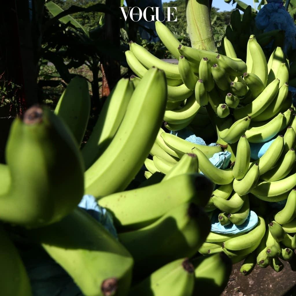 #그린바나나 가루 Green Banana Flour 그린 바나나는 익지 않은 상태의 바나나로, 바나나 맛은 전혀 나지 않지만 설탕이 적고 저항성 녹말이 풍부한 것이 특징. 보통 '글루텐 프리' 식품을 만들 때 밀가루 대체 성분으로 이용해 소화기 건강에도 좋음.