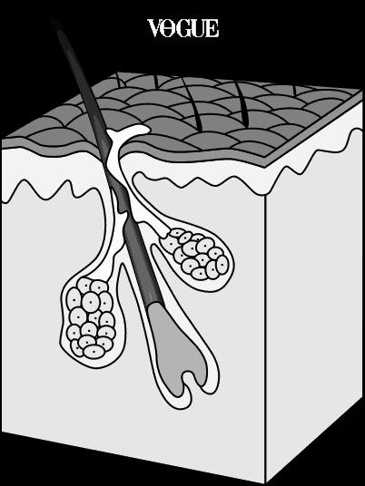 모낭은 다들 익숙하시죠? 털을 만드는 피부 속 작은 주머니입니다. 머리카락의 뿌리, 즉 모근을 감싼 형태로 영양을 제공하죠. 탈모를 막을 수 있는 핵심기관이라고 할까요? 실제로 현재 가장 대표적인 탈모치료법 중 하나는 머리 뒤통수에 있는 모낭을 탈모 부위로 이식해서 자라게 하는 것이랍니다.